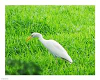 Egret In Field Fine-Art Print