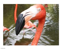Florida Flamingo Fine-Art Print