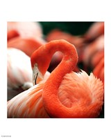 Flamingo National Zoo Fine-Art Print