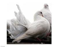 Little White Dove, Colchester Zoo Fine-Art Print
