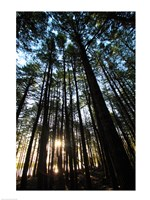 Low angle view of trees in a forest at sunrise Fine-Art Print