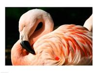 Close-up of a Sleeping Flamingo Fine-Art Print