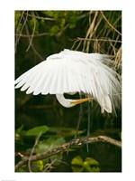 Close-up of a Great White Egret Fine-Art Print