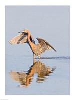 Reflection of Reddish Egret in Water Fine-Art Print
