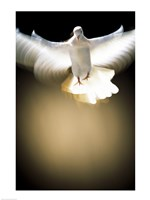 White Dove in flight Fine-Art Print