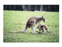 Red Kangaroos Fine-Art Print