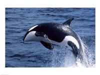 Killer Whale Orcinus Orca Atlantic Ocean Fine-Art Print