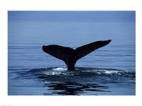 Humpback Whale Tail Fine-Art Print
