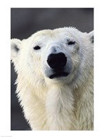 Polar Bear Photo Fine-Art Print