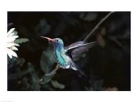 Broad Billed Hummingbird Fine-Art Print