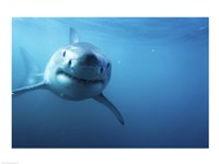 Great White Shark Swimming Fine-Art Print