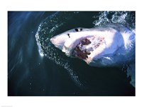 Great White Shark Eating Fine-Art Print
