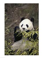 Giant Panda Fine-Art Print