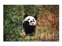 Giant panda (Ailuropoda melanoleuca) resting in a forest Fine-Art Print