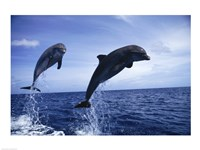 Two Bottle-nosed Dolphins jumping out of the water Fine-Art Print