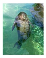 Hawaiian Monk Seal Fine-Art Print