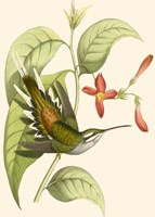 Delicate Hummingbird Framed Print