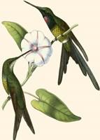 Delicate Hummingbird III Framed Print