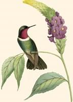 Delicate Hummingbird IV Framed Print