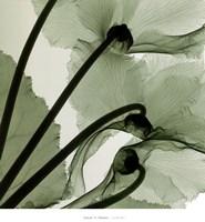 Cyclamen Fine-Art Print