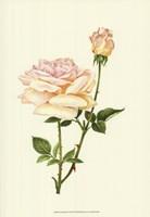 Victorian Rose IV Fine-Art Print
