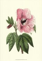 Antique Hibiscus III Fine-Art Print