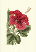 Antique Hibiscus I Fine-Art Print