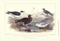 Gulls & Terns Fine-Art Print