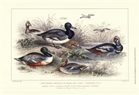Duck Varieties Fine-Art Print
