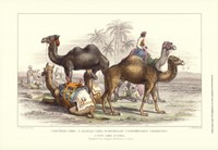 Arabian Camels Fine-Art Print