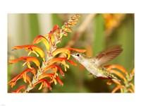 Female Anna's Hummingbird Feeding Fine-Art Print