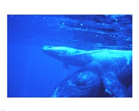 Humpback whale mother and calf Fine-Art Print