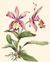 Pink Cattleya Orchid Fine-Art Print