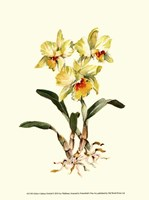 Yellow Cattleya Orchid Fine-Art Print