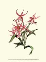 Miltassia Hybrid Orchid Fine-Art Print