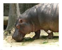 Face Hippopotamus Amphibius Mexico Fine-Art Print