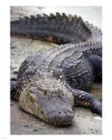 Florida Alligator Fine-Art Print