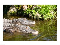 American alligators in a pond, Florida, USA Fine-Art Print