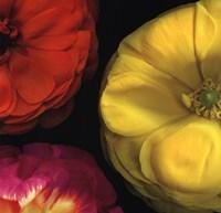 Ranunculus II RIght Fine-Art Print