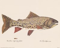 Brook Trout - Royal Coachman Bucktail Fine-Art Print