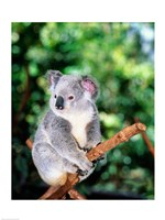 Koala on a tree branch, Lone Pine Sanctuary, Brisbane, Australia (Phascolarctos cinereus) Fine-Art Print
