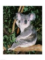 Koala sitting on a tree branch, Lone Pine Sanctuary, Brisbane, Australia (Phascolarctos cinereus) Fine-Art Print