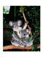 Koala and its young sitting in a tree, Lone Pine Sanctuary, Brisbane, Australia (Phascolarctos cinereus) Fine-Art Print