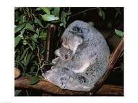 Koala hugging its young, Lone Pine Sanctuary, Brisbane, Australia (Phascolarctos cinereus) Fine-Art Print