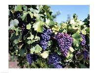 Close-up of cabernet grapes, Nuriootpa, Barossa Valley, Adelaide, South Australia, Australia Fine-Art Print