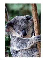 Koala Bear Australia Fine-Art Print