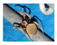 Spider, Garden Orb Weaver Fine-Art Print
