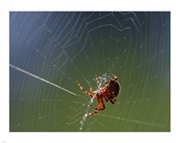 Spider Spinning Its Web Fine-Art Print