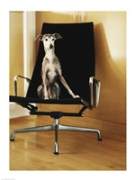 An Italian Greyhound sitting on a chair Fine-Art Print