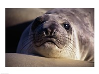 Seal - photo Fine-Art Print